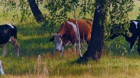 Αγελάδες που πηγαίνουν στον τομέα απόθεμα βίντεο