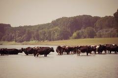 Αγελάδες που δροσίζουν στον ποταμό Στοκ Εικόνες