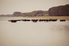 Αγελάδες που δροσίζουν στον ποταμό Στοκ Εικόνα