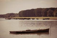 Αγελάδες που δροσίζουν στον ποταμό Στοκ Φωτογραφίες