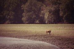 Αγελάδες που δροσίζουν στον ποταμό Στοκ φωτογραφίες με δικαίωμα ελεύθερης χρήσης