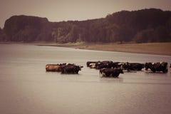 Αγελάδες που δροσίζουν στον ποταμό Στοκ εικόνες με δικαίωμα ελεύθερης χρήσης