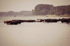 Αγελάδες που δροσίζουν στον ποταμό Στοκ φωτογραφία με δικαίωμα ελεύθερης χρήσης