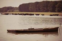 Αγελάδες που δροσίζουν στον ποταμό Στοκ Φωτογραφία