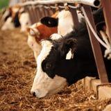 Αγελάδες που ταΐζουν σε μια γούρνα Στοκ φωτογραφία με δικαίωμα ελεύθερης χρήσης