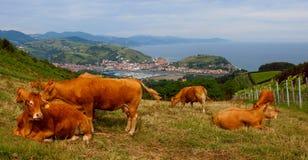 Αγελάδες που τρώνε τη χλόη σε ένα αγρόκτημα, Zumaia Στοκ Φωτογραφία