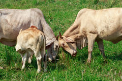 Αγελάδες που χτυπούν τα κεφάλια Στοκ Εικόνα