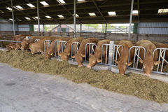 Αγελάδες σε έναν φραγμό Στοκ Εικόνες