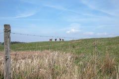 Αγελάδες σε έναν λόφο Στοκ φωτογραφία με δικαίωμα ελεύθερης χρήσης