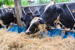 Αγελάδες σε ένα αγρόκτημα, γαλακτοκομικές αγελάδες που σε ένα αγρόκτημα Στοκ φωτογραφίες με δικαίωμα ελεύθερης χρήσης