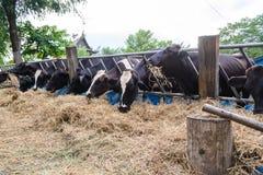 Αγελάδες σε ένα αγρόκτημα, γαλακτοκομικές αγελάδες που σε ένα αγρόκτημα Στοκ Εικόνες
