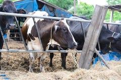 Αγελάδες σε ένα αγρόκτημα, γαλακτοκομικές αγελάδες που σε ένα αγρόκτημα Στοκ φωτογραφία με δικαίωμα ελεύθερης χρήσης