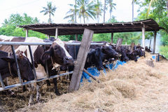 Αγελάδες σε ένα αγρόκτημα, γαλακτοκομικές αγελάδες που σε ένα αγρόκτημα Στοκ Φωτογραφία