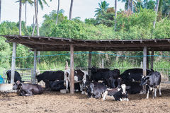 Αγελάδες σε ένα αγρόκτημα, γαλακτοκομικές αγελάδες που σε ένα αγρόκτημα Στοκ Εικόνα