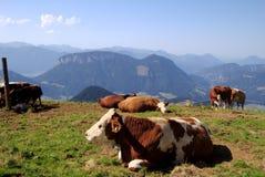 Αγελάδες σε ένα βουνό Λούσιμο στην ηλιοφάνεια Στοκ Εικόνες