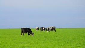Αγελάδες σε ένα λιβάδι φιλμ μικρού μήκους