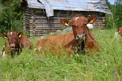 Αγελάδες σε ένα πεδίο Στοκ εικόνες με δικαίωμα ελεύθερης χρήσης