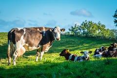 Αγελάδες σε ένα πράσινο λιβάδι χλόης Στοκ φωτογραφία με δικαίωμα ελεύθερης χρήσης