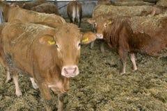 Αγελάδες σε μια σιταποθήκη Στοκ Εικόνα