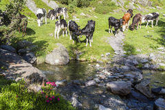 Αγελάδες στα όρη Στοκ εικόνες με δικαίωμα ελεύθερης χρήσης