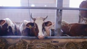 Αγελάδες στην αγελάδα που ρίχνεται κατανάλωση του σανού απόθεμα βίντεο