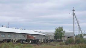 Αγελάδες στην αγροτική μακρινή άποψη φιλμ μικρού μήκους