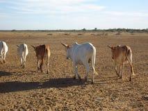 Αγελάδες στην αποχώρηση Στοκ Εικόνα