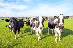 Αγελάδες στην επαρχία από τις Κάτω Χώρες Στοκ εικόνα με δικαίωμα ελεύθερης χρήσης