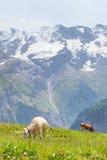Αγελάδες στην Ελβετία Στοκ Φωτογραφίες