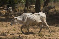 Αγελάδες στη Γκάμπια Στοκ φωτογραφίες με δικαίωμα ελεύθερης χρήσης