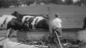 Αγελάδες στη γούρνα με το αγόρι - τρύγος 8mm απόθεμα βίντεο