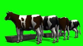 Αγελάδες στη γούρνα νερού - πράσινη οθόνη απόθεμα βίντεο
