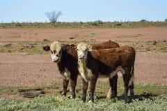 Αγελάδες στη μέση του εσωτερικού στην Αυστραλία Στοκ φωτογραφία με δικαίωμα ελεύθερης χρήσης
