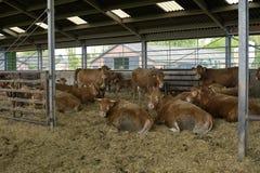 Αγελάδες στη σιταποθήκη Στοκ Εικόνα