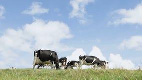 Αγελάδες στον ορίζοντα απόθεμα βίντεο