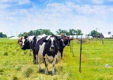 αγελάδες στον τομέα στοκ εικόνα