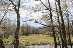 Αγελάδες στο δάσος Στοκ Εικόνες