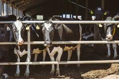 Αγελάδες στο αγρόκτημα Έννοια κτηνοτροφικής παραγωγής Στοκ Φωτογραφίες