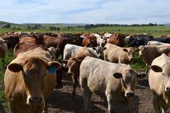 αγελάδες στο αγρόκτημα Στοκ Εικόνες