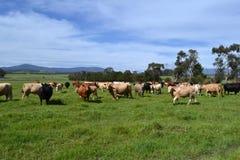αγελάδες στο αγρόκτημα Στοκ εικόνες με δικαίωμα ελεύθερης χρήσης