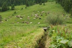 Αγελάδες στο βουνό Στοκ Φωτογραφία
