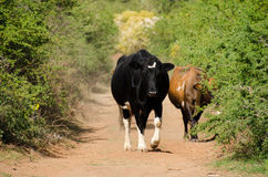 Αγελάδες στο βρώμικο δρόμο Στοκ φωτογραφία με δικαίωμα ελεύθερης χρήσης