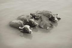 Αγελάδες στο Γάγκη - το Varanasi, Ινδία Στοκ φωτογραφία με δικαίωμα ελεύθερης χρήσης