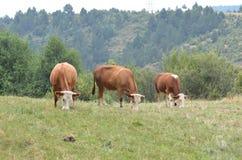 Αγελάδες στο μακρινό τέλος του τομέα Στοκ Φωτογραφία