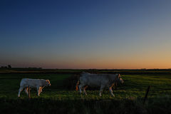 Αγελάδες στο σούρουπο Στοκ Εικόνες