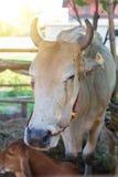 Αγελάδες στο ταϊλανδικό τοπικό αγρόκτημα Στοκ Φωτογραφίες