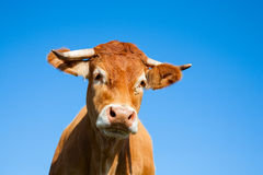 Αγελάδες του Λιμουζέν Στοκ εικόνα με δικαίωμα ελεύθερης χρήσης