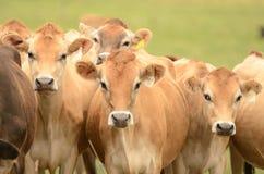 Αγελάδες του Τζέρσεϋ Στοκ Φωτογραφίες
