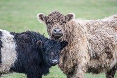 αγελάδες δύο Στοκ Εικόνα