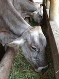 Αγελάδες Στοκ Εικόνα